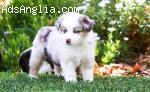 Australian Shepherd Male Puppy