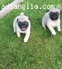Pug Pups Available Now..