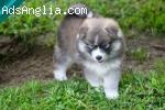 Pomsky šuniukai, pasiruošę iš naujo apsigyventi puikus namuo