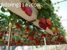 Шотландия-бране на ягоди, малини, къпини и боровинки