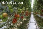 Оранжерия за домати