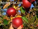 Англия-ябълки,круши -ранни записвания