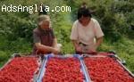 Набираме Работници за Ферма