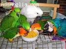 Parrots And fertile Parrots Eggs For Sale at affordable pric
